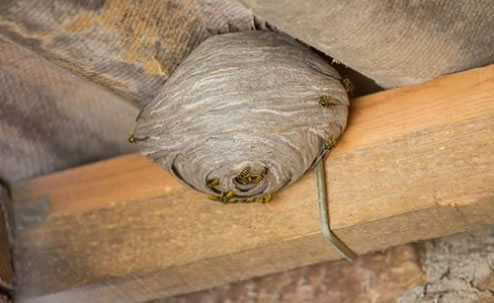 Wasp Nest Danger – Please Read